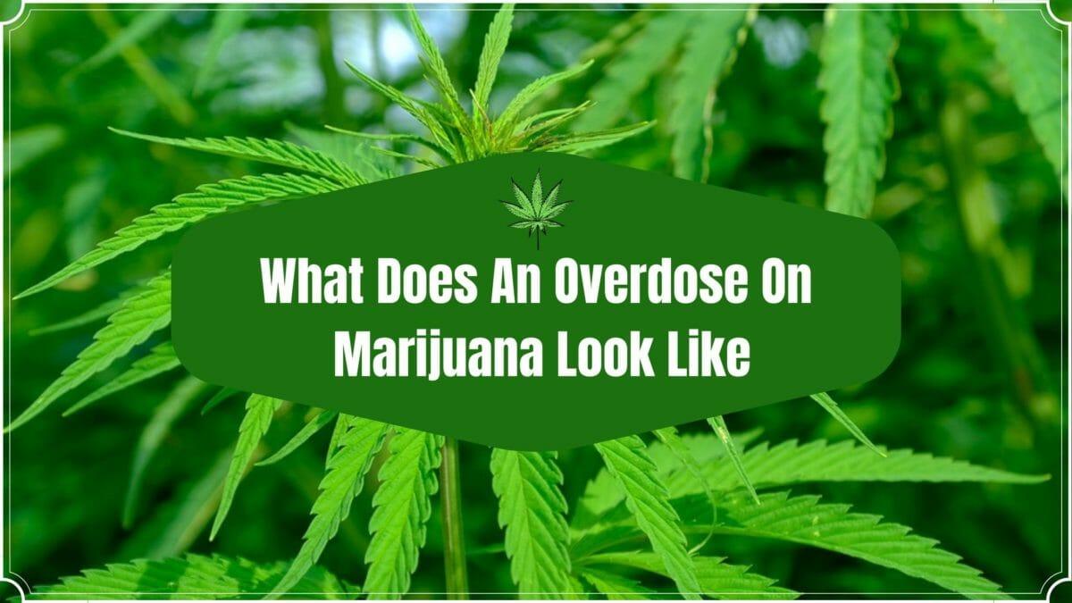 Cannabis overdose post cover