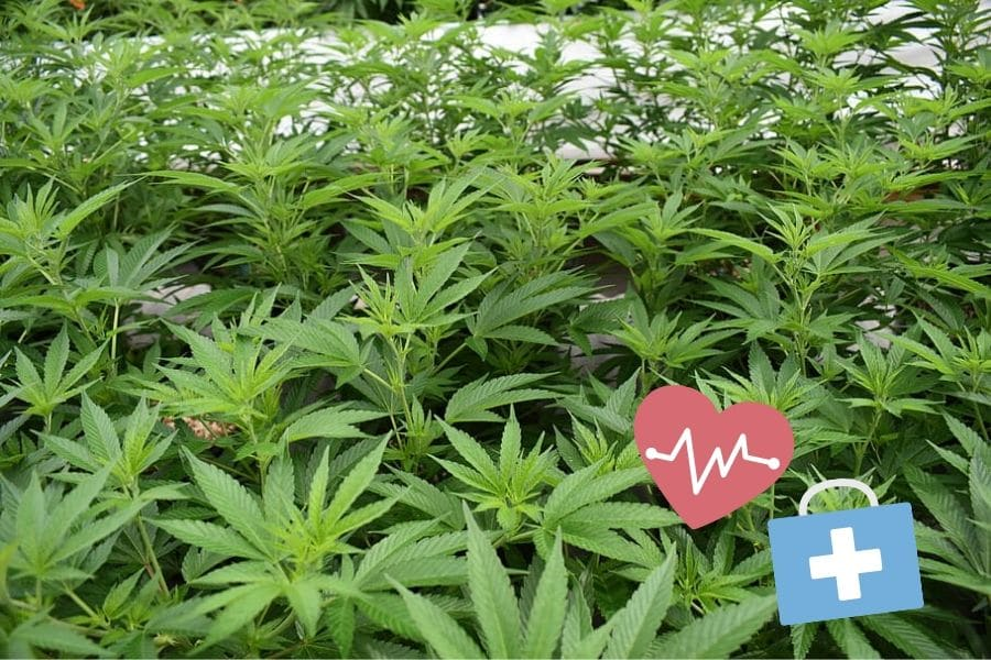 Medical Cannabis Plants
