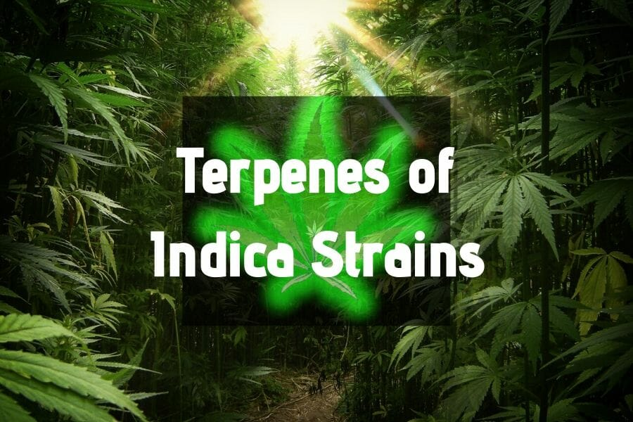 Terpenes of Indica Strains Post Cover