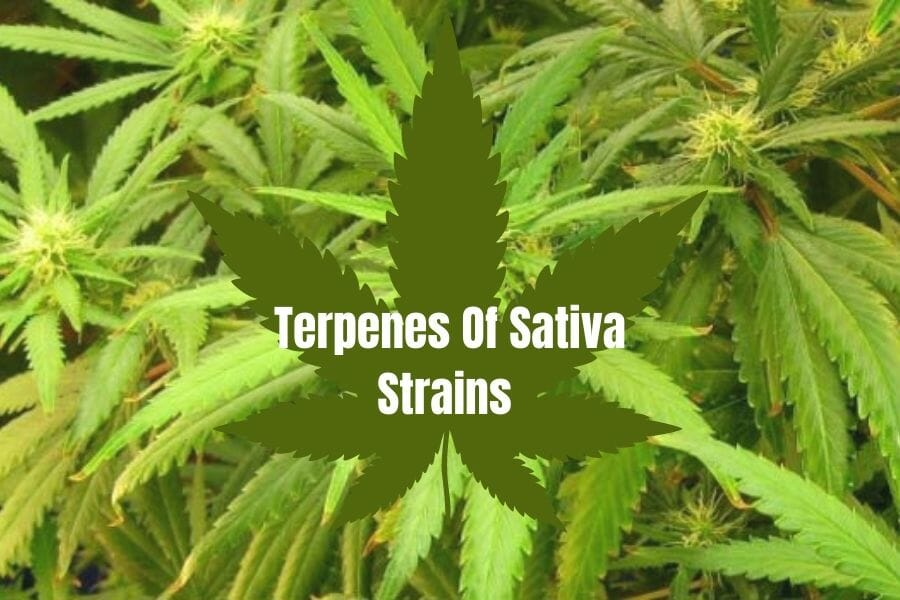 Terpenes in Sativa