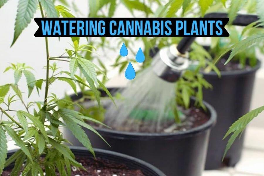 Watering Cannabis Plants