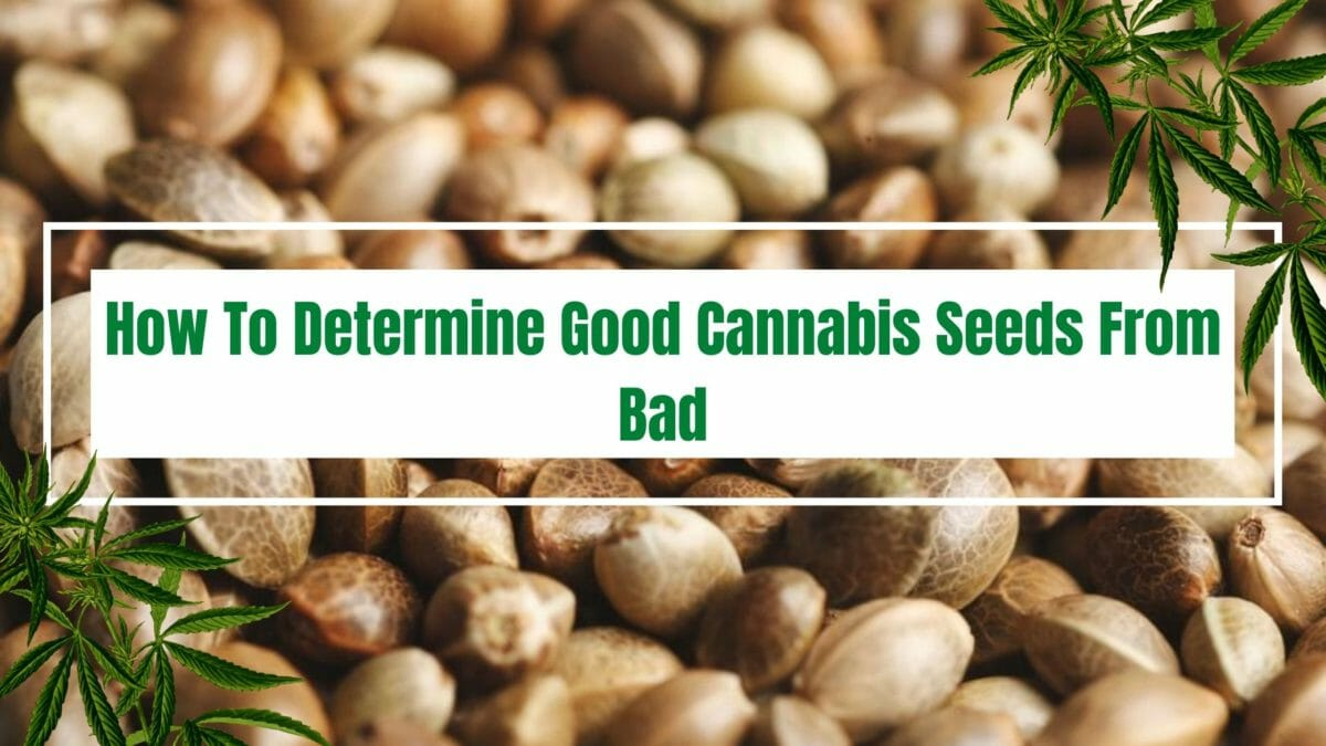 Determine good cannabisseeds from bad