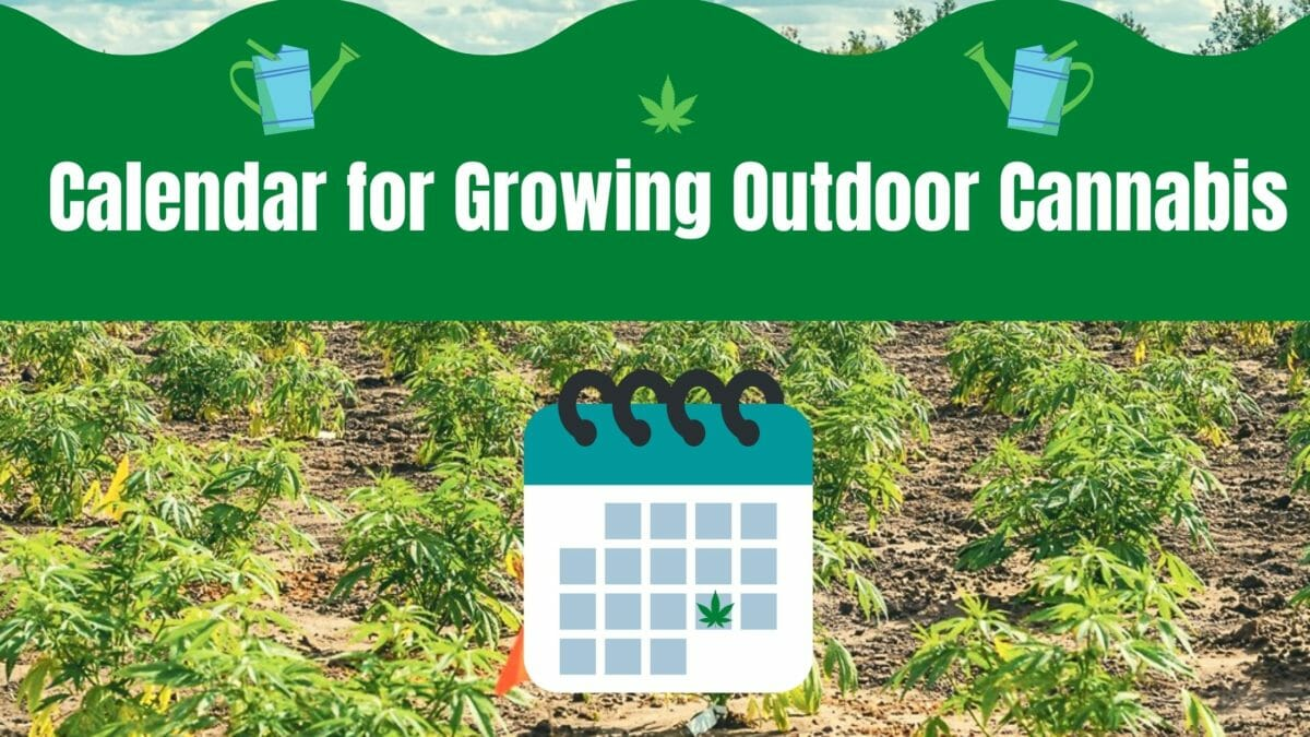 Growing Outdoor Cannabis Guide