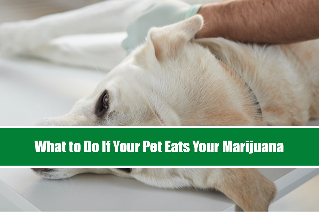 What to Do If Your Pet Eats Your Weed